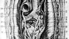 Отношение сердца к окружающим его органам - клиническая анатомия сердца