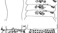 Raillietina cryptacantha и cyrtus - давэнеаты - raillietina