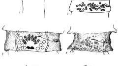 Raillietina lutzi - давэнеаты - raillietina