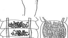 Raillietina pseudocyrtus и psittacea - давэнеаты - raillietina